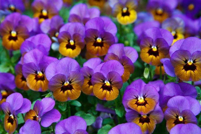 pansy 21968 1280