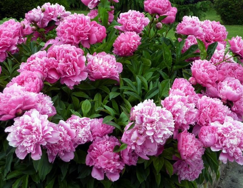 pfingstrosen rosa stauden