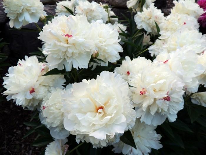 prachtvolle-weiße-blüten