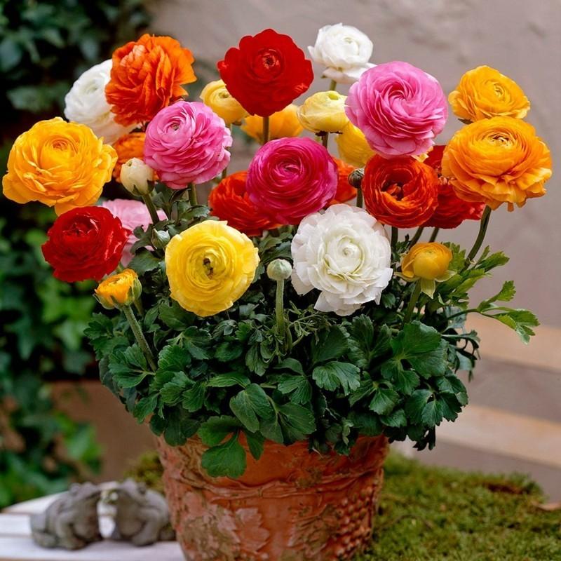 ranunkel frühling topfblumen rosa weiss orange rot