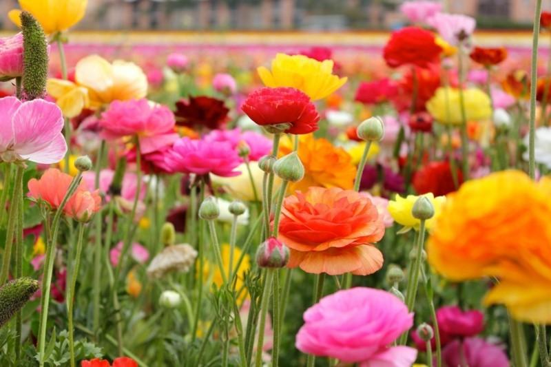 ranunkel frühlingsblumen feld orange gelb rosa