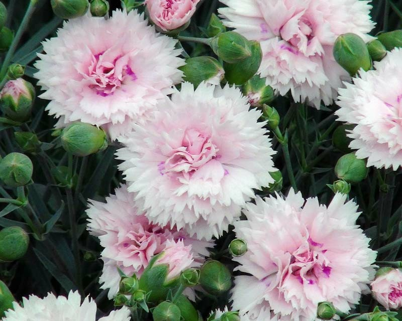 rosa federnelken gartenpflanzen frühlingsblumen
