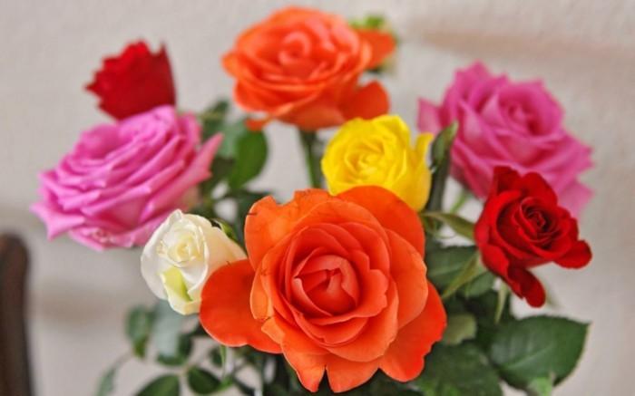 rose in unterschiedlichen farben