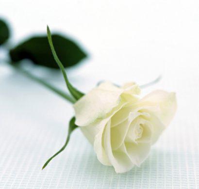 Rosen - einmalige Schönheit mit betörendem Duft verzaubert die Sinne