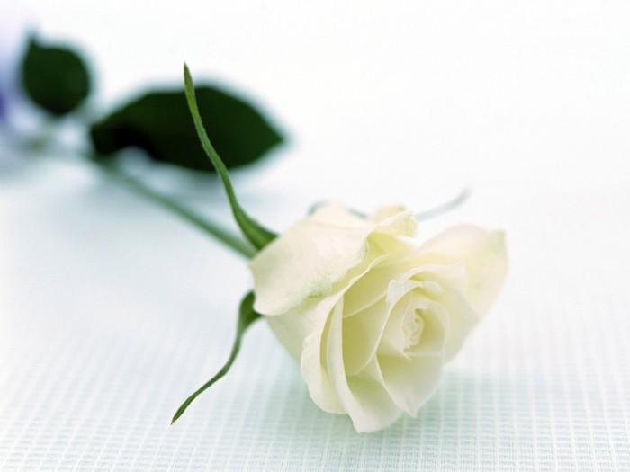 rose in weiß was symbolisiert sie