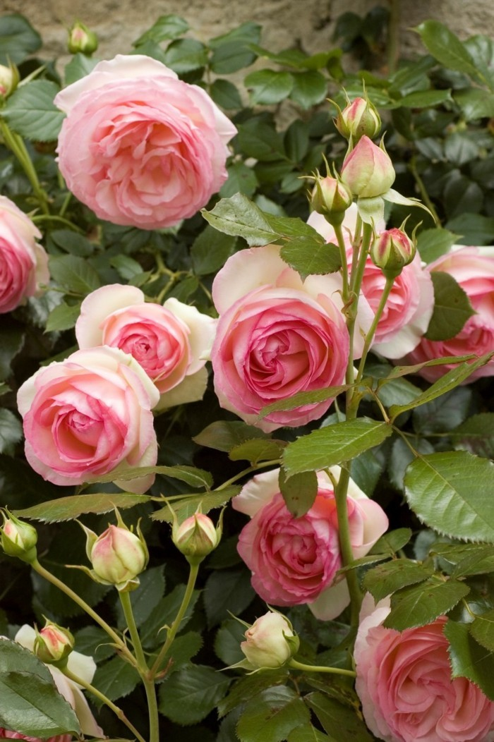 rose rosesorten kletterrosen im garten