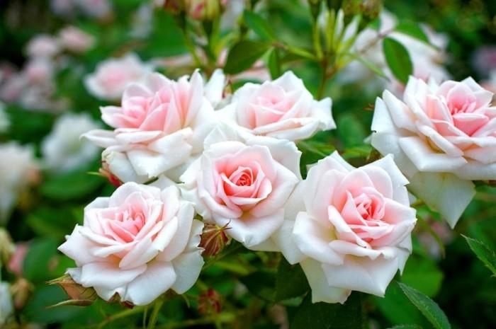 rose sorten strauchrosen im garten in sanften farben