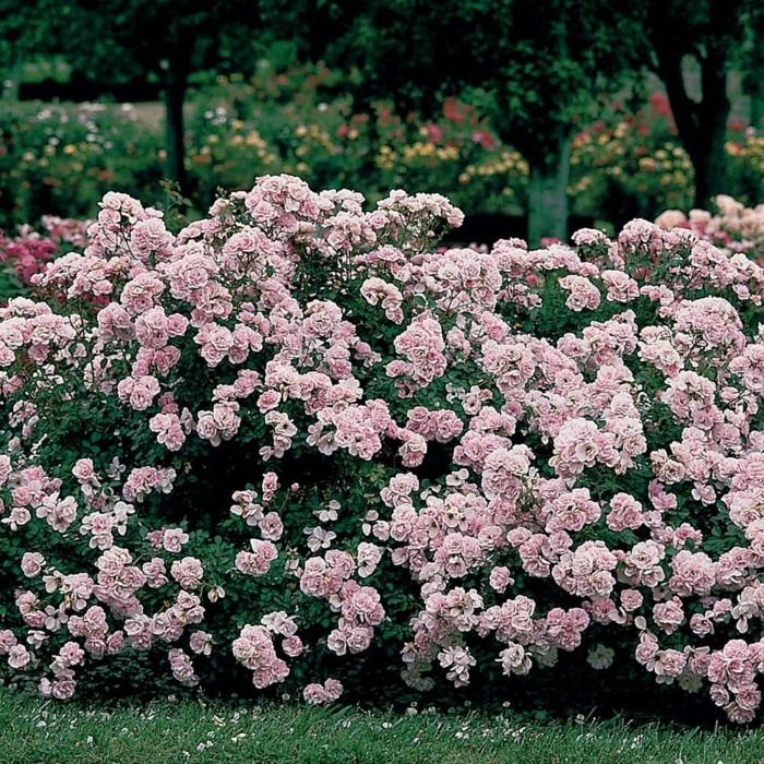 rosen Bonica in hellrosa