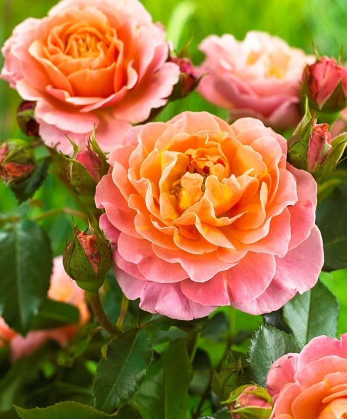 rosen Marie Curie in orange