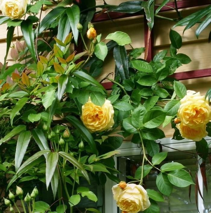 rosen als dekoration für die hausfassade