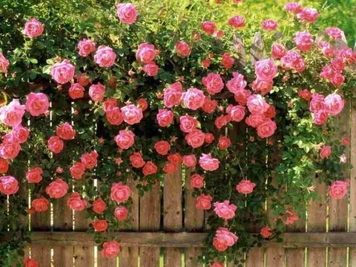 rosen charmante dekoration vom gartenzaun