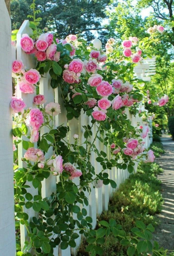 rosen kletterrosen verschönern den garten