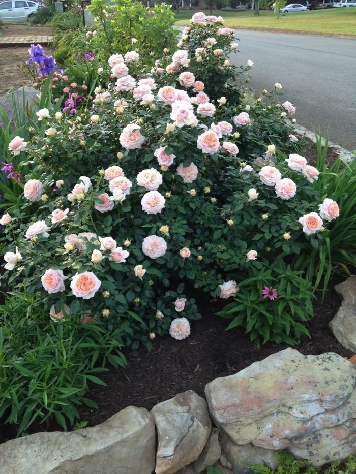 rosen strauchrosen die königin der blumen als dekoartion im vorgarten