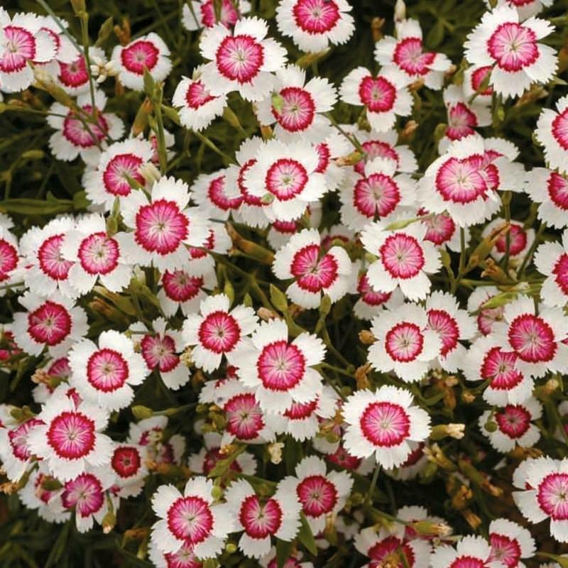 schöne federnelken frühlingsblumen für den garten