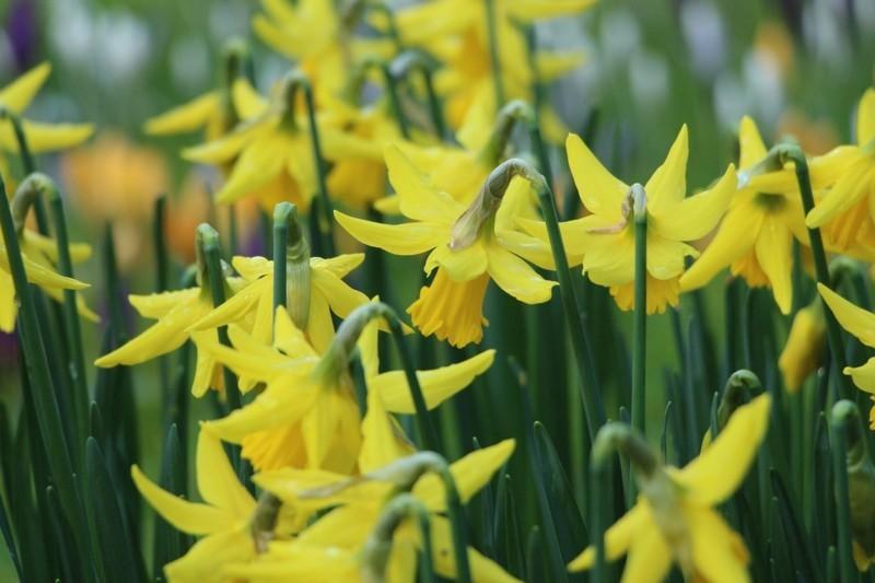 spring flower power gelbe narzisse