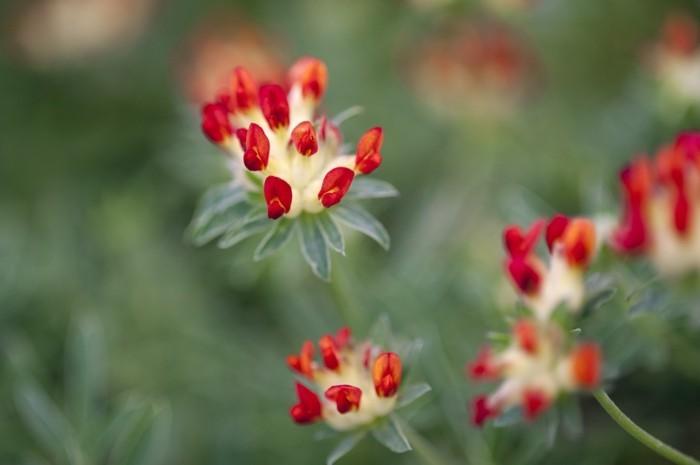 steingartenpflanzen auswählen roter wundklee