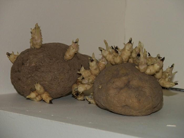 von diesen kartoffeln neue