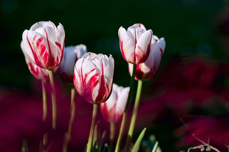 weiss rote tulpen im garten