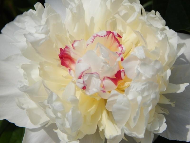 weisse pfingstrose frühlingsblume