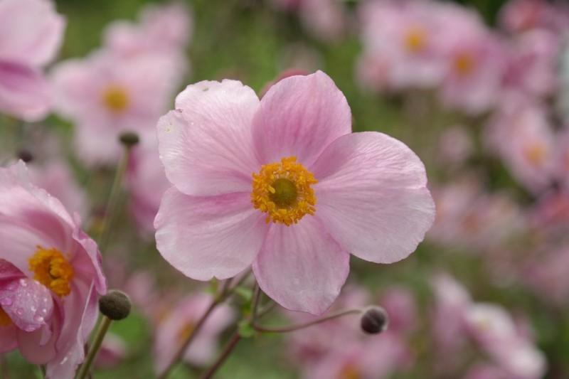 windröschen anemone pink