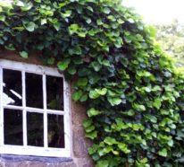 Efeu – die Kletterpflanze bringt viel Grün in den Garten
