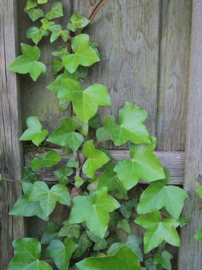 efeu kletterpflanze mit heilender wirkung