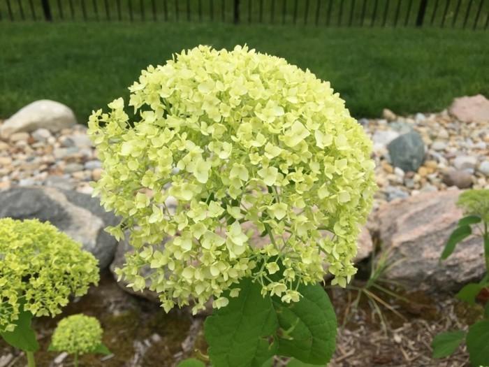 gartenpflanzen Ball Hortensie in hellgrün