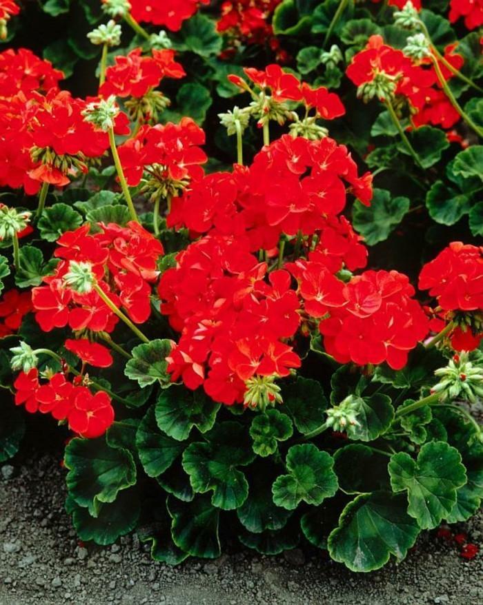 gartenpflanzen Pelargonium zonale in rot