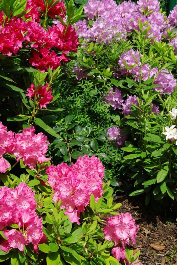 gartenpflanzen Rhododendron im garten in schönen blüten