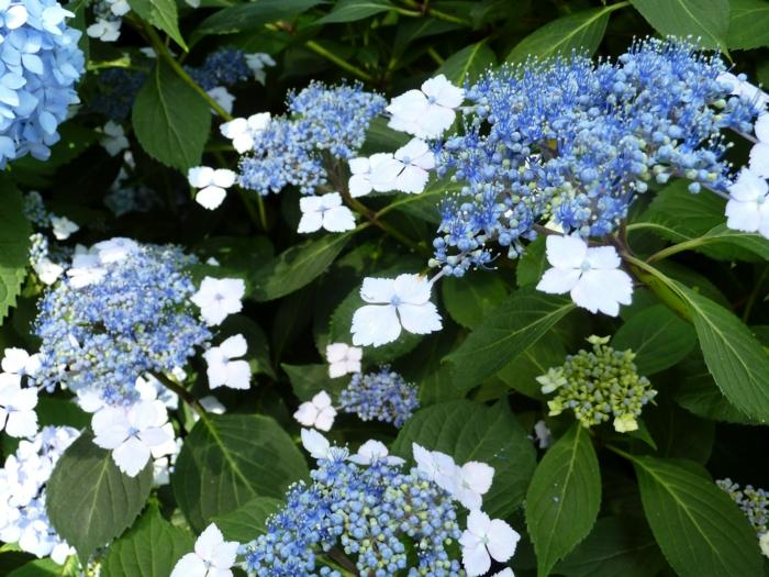 gartenpflanzen Teller Hortensie weiße blühten