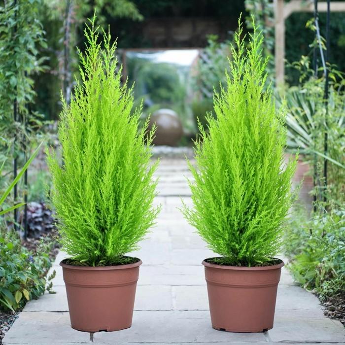 gartenpflanzen ausgefallene solitärpflanze für den garten