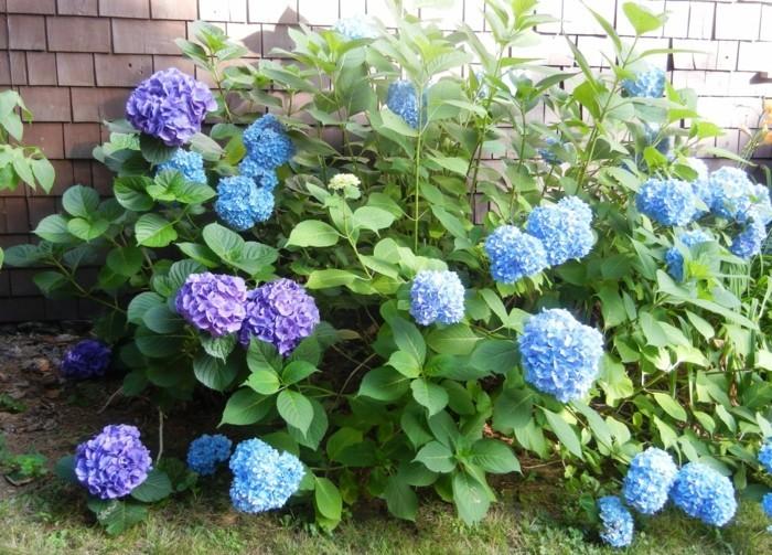 gartenpflanzen blaue hortensie im garten züchten