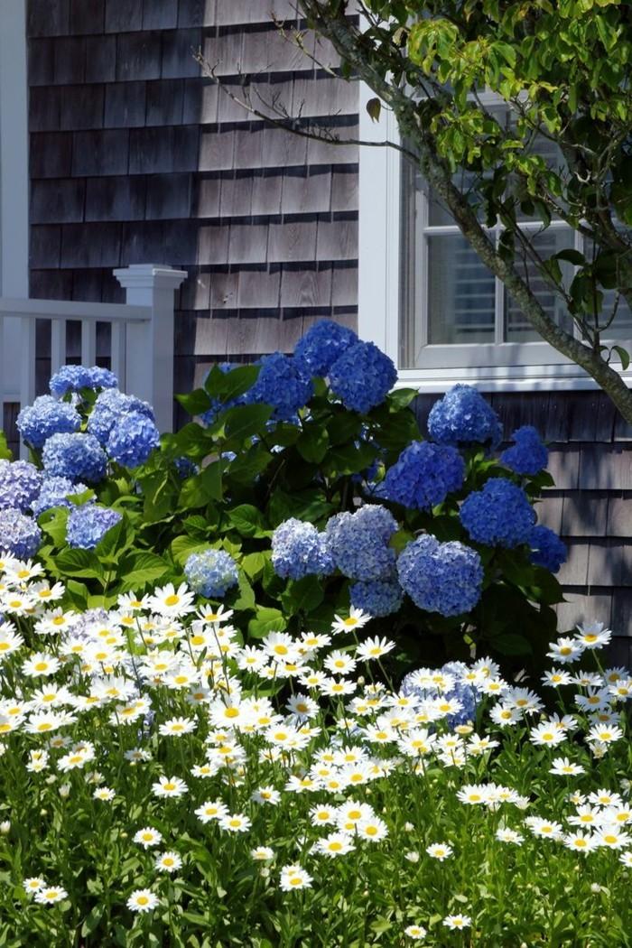 gartenpflanzen blaue hortensie und weiße gänseblümchen
