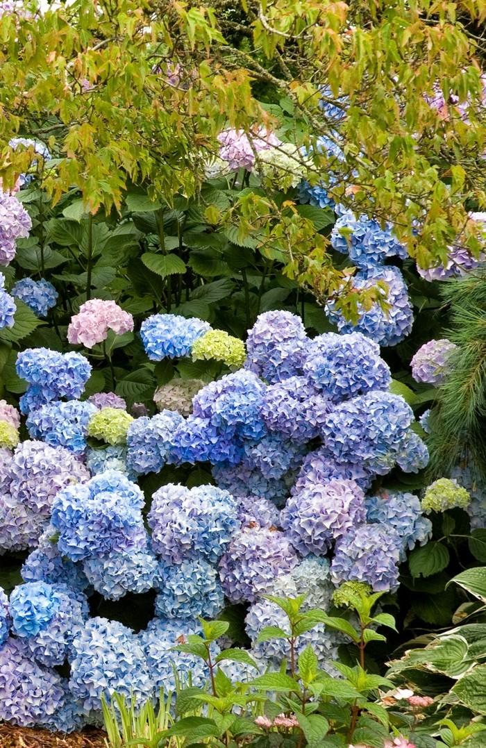 gartenpflanzen blaue und hellrosa hortensien