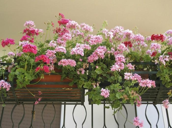 gartenpflanzen dekoideen für den balkon geranie