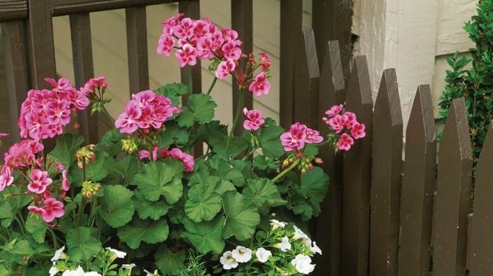 gartenpflanzen dekoideen für den hinterhof geranie züchten