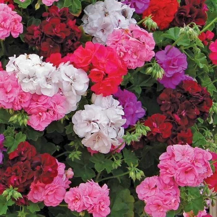 gartenpflanzen die schöne geranie in verschiedenen farben