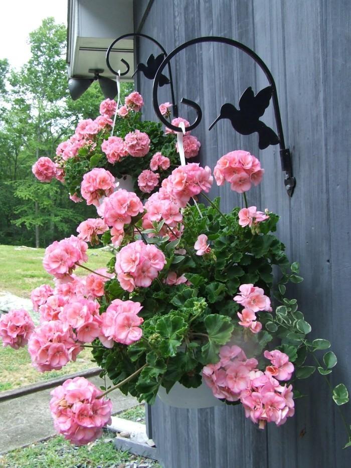 gartenpflanzen geranie in blumentopf bringt frische in den außenbereich