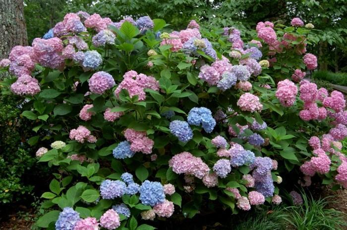 gartenpflanzen hortensie Bauernhortensie in verschiedenen farben