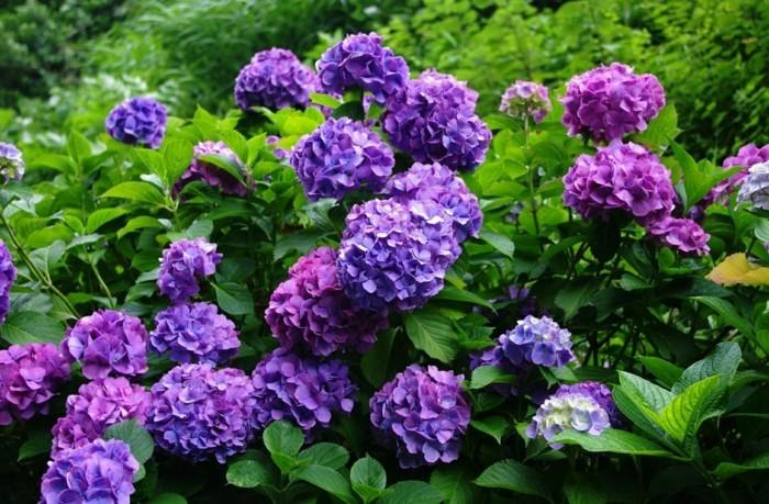 gartenpflanzen hortensie in lilanuancen