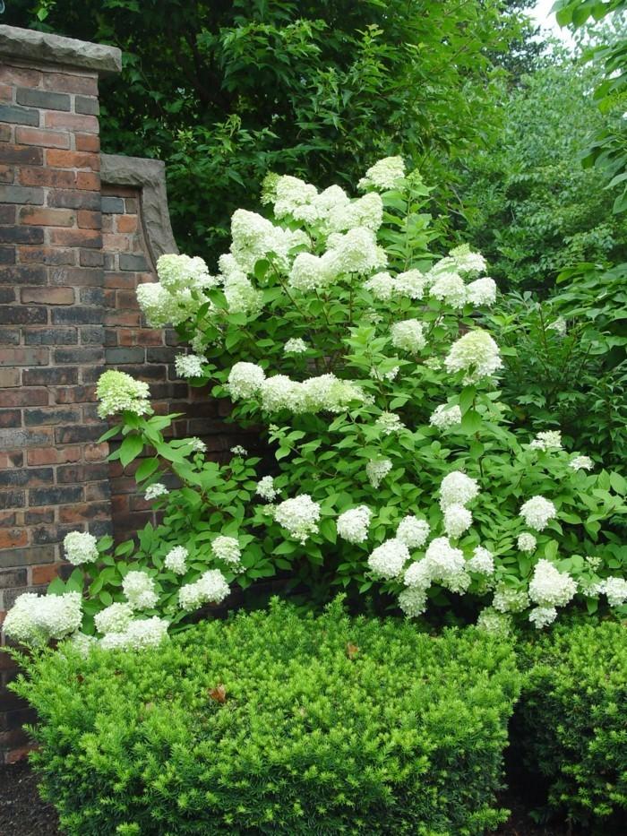 gartenpflanzen hortensie in weiß verschönert den außenbereich