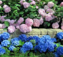 Hortensien – der attraktive Akzent in jedem Garten