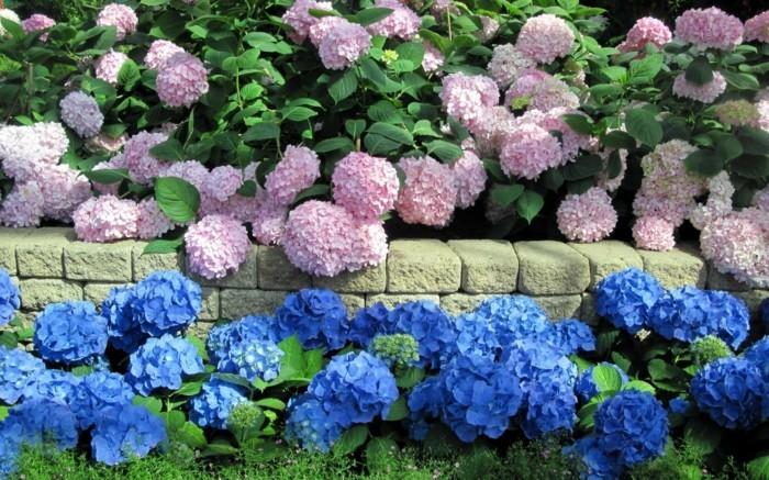 gartenpflanzen hydrangea in vielfältigen farbtönen als wunderschöne gartendeko