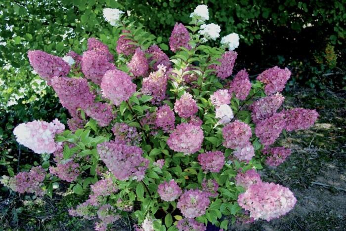 gartenpflanzen in frischen farben Rispen Hortensie
