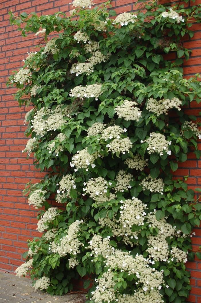 gartenpflanzen kletterhortensie in weiß verziert den gartenzaun