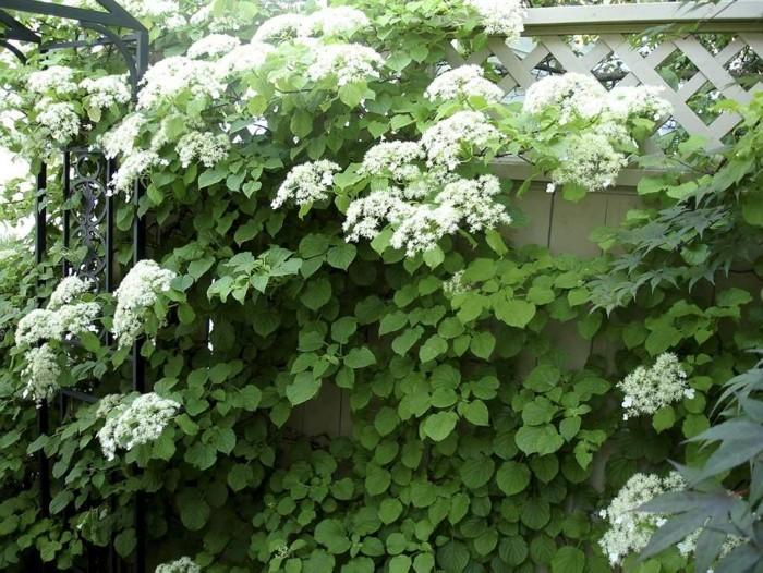 hortensien verschönern den gartenzaun