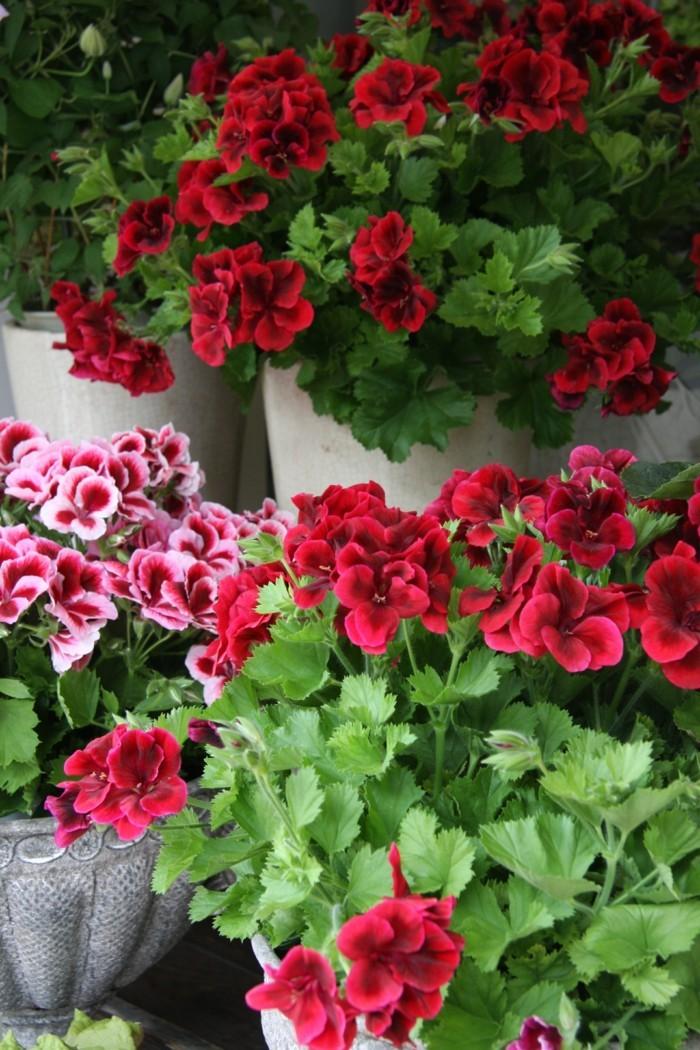 gartenpflanzen pelargonien züchten tipps für die pflege
