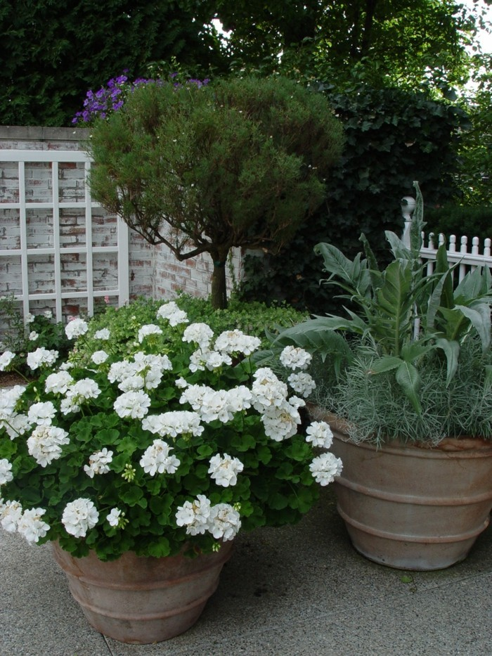 gartenpflanzen weiße geranie in blumentopf