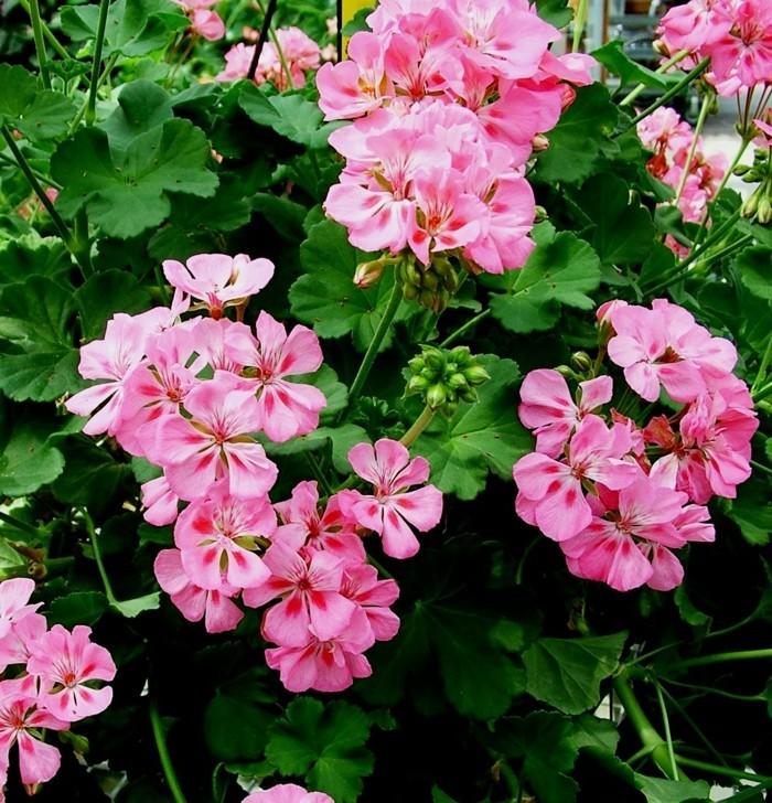 geranien in rosa schöne gartenpflanzen