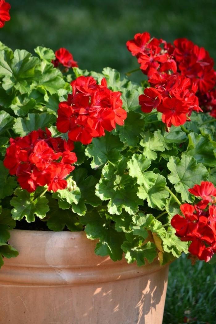 geranien in rot im blumentopf verschönernden außenbereich
